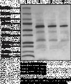TIP60 (human, recombinant)