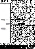 PPARδ Polyclonal Antibody