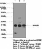 HMGB1 Monoclonal Antibody (Clone IMG19N10B7)