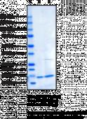 Irisin (human, recombinant)