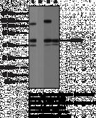 RORγ Polyclonal Antibody