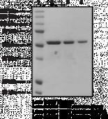 LIG4 BRCT domains (human, recombinant)