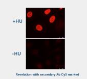 H2AX Phospho-Ser 139 (1H2) Monoclonal Antibody