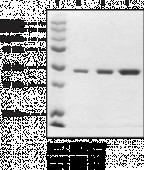 CBX3 (human recombinant)