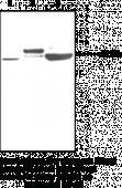 PCSK9 (human) Polyclonal Antibody