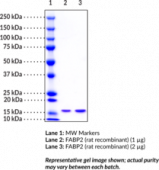 FABP2 (rat recombinant)