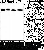 Nampt Monoclonal Antibody (Clone OMNI 379)
