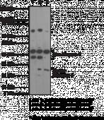 Caspase-<wbr/>3 Monoclonal Antibody (Clone 31A893)