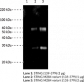 STING M284 variant Polyclonal Antibody