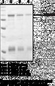 SIRT1 (human, recombinant)