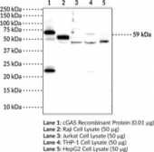 cGAS Monoclonal Antibody (Clone 5G10)