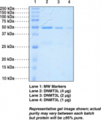 DNA Methyl<wbr>transferase 3L (human recombinant)