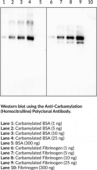 Anti-<wbr/>Carbamylation (Homo<wbr/>citrulline) Polyclonal Antibody