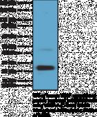 VEGF-A (C-Term) Rabbit Monoclonal Antibody