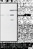 PPARα Polyclonal Antibody