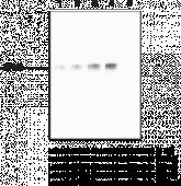 PAD6 Monoclonal Antibody (Clone 4B7)
