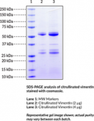 Citrullinated Vimentin (human, recombinant)