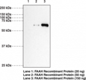 Fatty Acid Amide Hydrolase Polyclonal Antibody