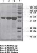 FEN1 (human recombinant)