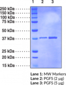 Prostaglandin F Synthase (human, recombinant)