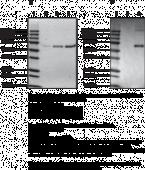 Carbamylated Bovine Serum Albumin