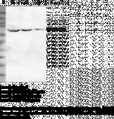NF-κB (p65) Polyclonal Antibody