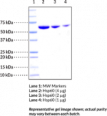 Hsp60 (human recombinant)