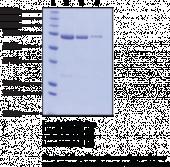 PAD3 (human, recombinant)
