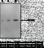 Histone H3 Monoclonal Antibody (Clone 2B8)