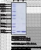 Thioredoxin 1 from <em>E. coli</em> (oxidized form)