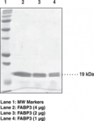FABP3 (human recombinant)