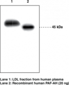 PAF Acetyl<wbr>hydrolase (human) Polyclonal Antibody