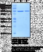 RIZ1 (human recombinant)