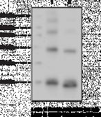 SUMO Polyclonal Antibody