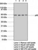 NF-<wbr/>κB (p65) Monoclonal Antibody (Clone 112A1021)