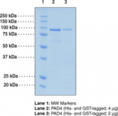 PAD4 (human, recombinant; His- and GST-tagged)