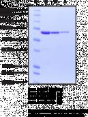 Hsp70 (human recombinant)