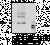 Adropin Monoclonal Antibody (Clone CC1133F5)