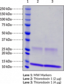 Thioredoxin 1 (mouse, recombinant)