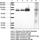 COX-<wbr/>2 (mouse) Polyclonal Antiserum