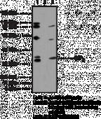 S1P<sub>4</sub> Polyclonal Antibody