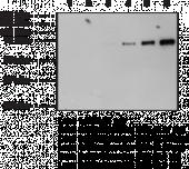 Nitrotyrosine BSA