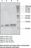 MIF (human recombinant)