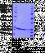 DJ-1/PARK7 (human recombinant)