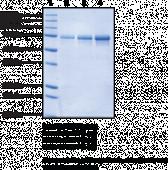 Hsc70 (human recombinant)