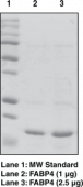 FABP4 (human, recombinant)