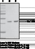 PtdIns-<wbr/>(3,4,5)-<wbr/>P<sub>3</sub> Binding Protein