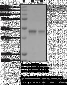 PRMT6 (human recombinant; baculovirus expressed)