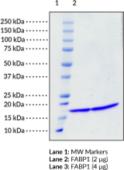 FABP1 (human, recombinant)