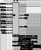 TRF2 Polyclonal Antibody